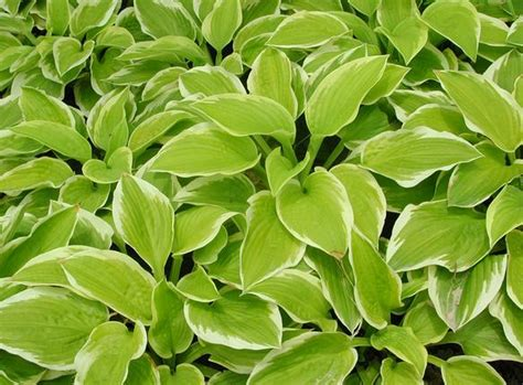 popular landscaping plants hosta seeds zhong wei horticultural products company top quality plant seeds vegetables trees