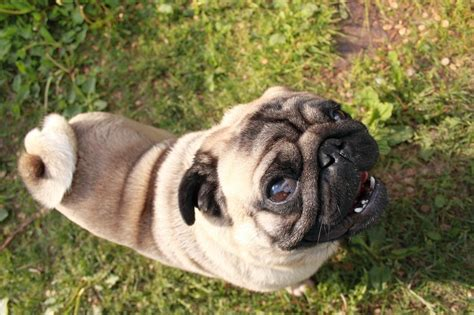 luxating patella in pugs 6 genetic issues found in pugs that you need to about