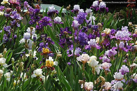 iris flower garden iris flower gardens