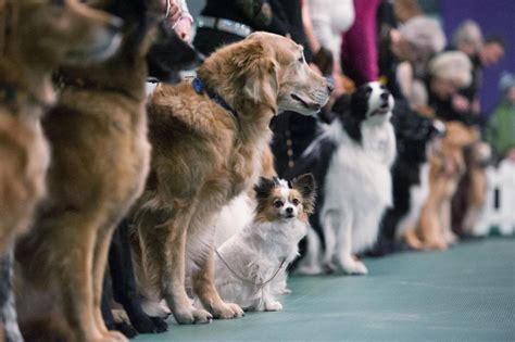 New York Sports Club Garden City by Westminster Kennel Club 140 Annual Show Hound