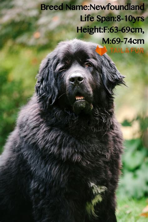 largest breed in the world 18 dogs in the world and their guinness world records