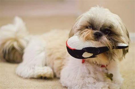 shih tzu breathing problems symptoms health problems of popular breeds baxterboo