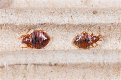 bed bugs after treatment bed bugs treatment bug head pest control