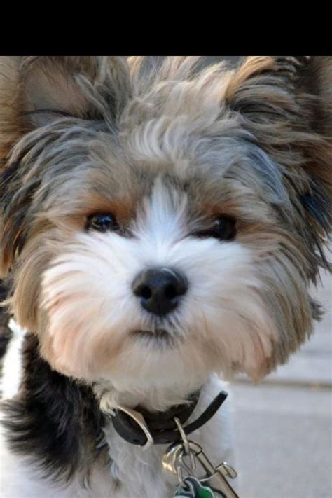 piebald yorkie biewer terrier quot fonzie quot these are a few of my favorite things