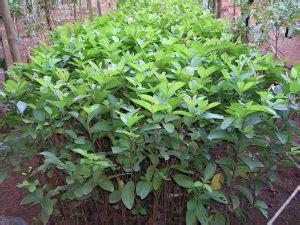 Bibit Pisang Cavendish Di Bali 9 cara menanam jambu biji agar cepat berbuah
