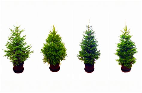 rent a living christmas tree this year inhabitat