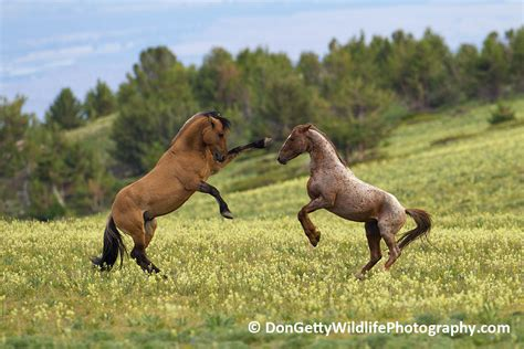 horses mustangs the mustangs of pryor mountain by don getty focusing on