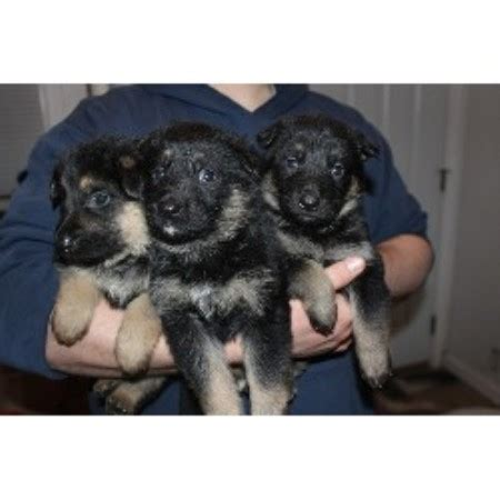 free german shepherd puppies in michigan german shepherd gsd alsatian breeders in michigan page 1 freedoglistings
