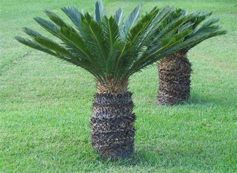 palma pianta da giardino cycas revoluta piante da giardino cycas revoluta