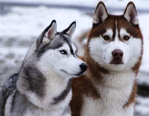 dogs that look like huskies siberian huskies animals