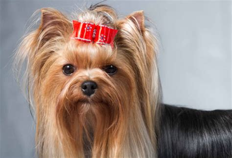 regular yorkie terrier yorkie american kennel club