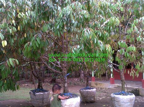 Bibit Durian Musang King Cirebon bibit durian bawor siap buah bibit durian montong bibit
