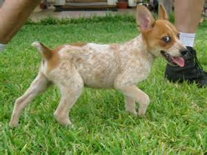 Texas red heelers australian cattle dogs pictures red heelers for sale