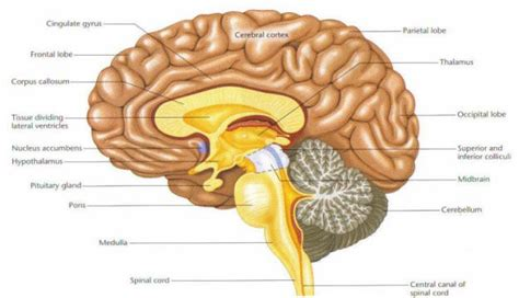 sagittal section of brain labeled human biology and health nervous co ordination
