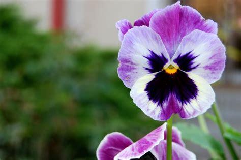 imagenes de flores llamadas pensamientos el pensamiento caracter 237 sticas cuidados flor planta
