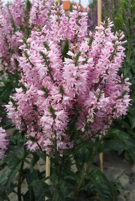Pink Bomb by Pink Bomb Speedwell Plant Library Pahl S Market