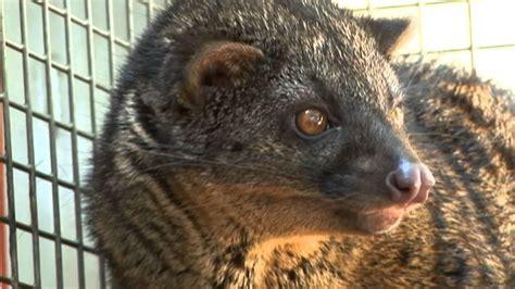 RAINFOREST PYRAMID® UPDATE: African Palm Civet - YouTube