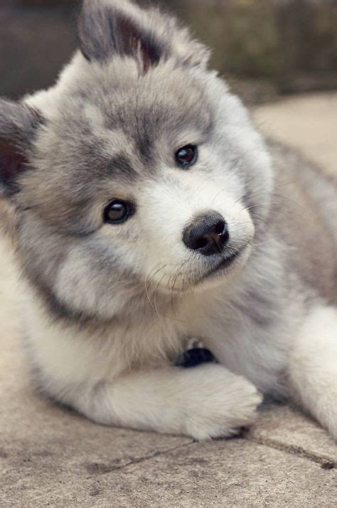 what is a pomsky puppy pin pomsky breed on