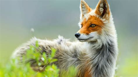 red fox national geographic wallpaper  iphone earthly
