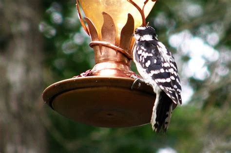 red cockaded woodpecker drinking from hummingbird feeder