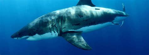 great white sharks species wwf