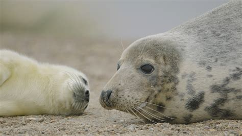 Seal Pop Seal Jus seal pups in the uk see the baby seals this winter the rspb