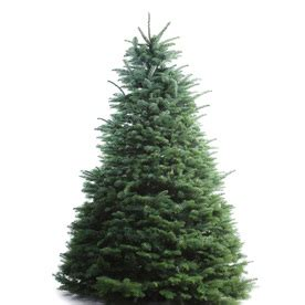 shop 8 ft to 9 ft fresh cut noble fir christmas tree at