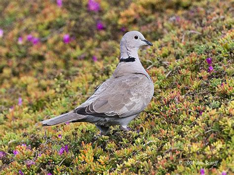 eurasian collared dove an invasive species introduced