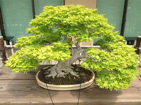 bonsai tree tokyo daytripper the omiya bonsai art museum tokyo fox
