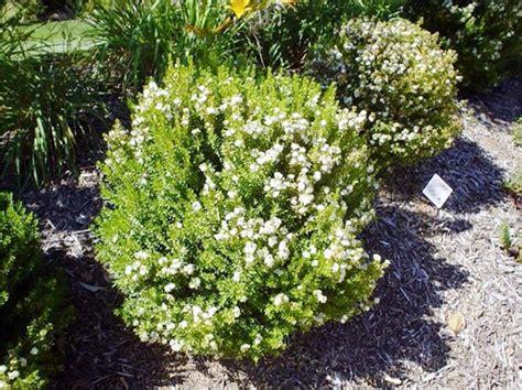 mirto in vaso mirto pianta aromatiche coltivazione mirto