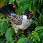 Gantungan Kunci Burung Siul burung kutilang 171 lirik lagu anak