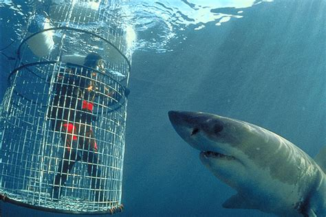 great white shark attacks cage the hunt for great white shark images photo aesthetics