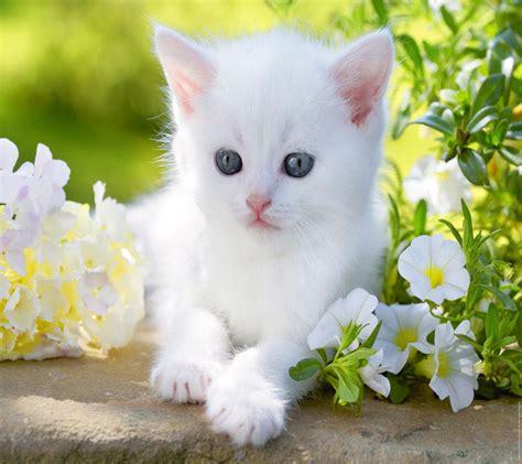Baby kitty blue eyes white cute flower animal cat