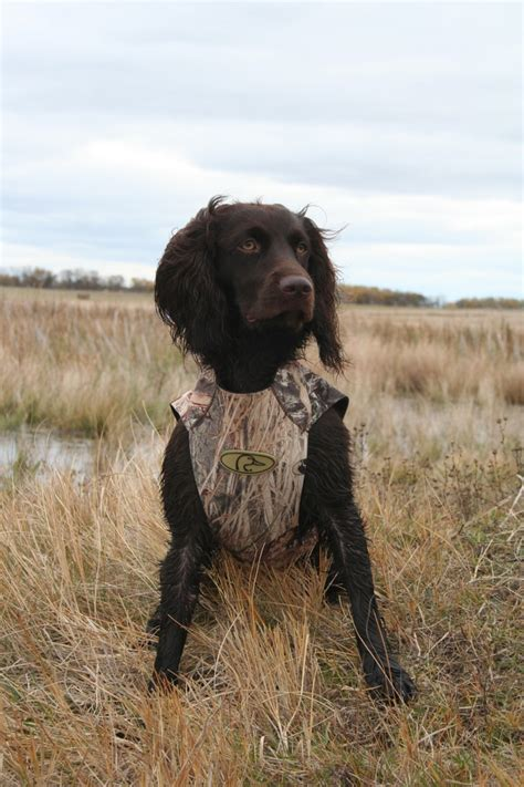 Boykin Spaniel. | Little Brown Dogs | Pinterest