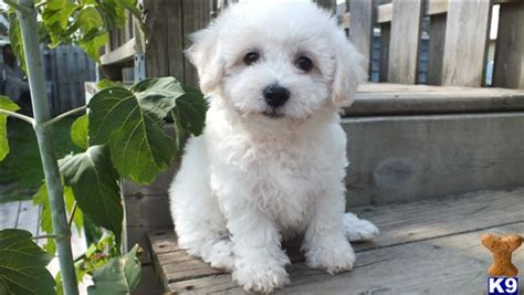 shih tzu bichon puppies for sale in michigan bichon shih tzu puppies for sale in michigan