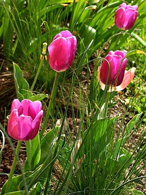 wann pflanzt krokusse blumenzwiebeln tulpen narzissen krokusse und andere