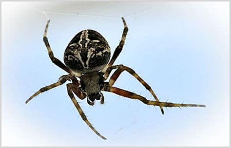 wie kommen spinnen ins haus spinnen kreuzspinne krabbenspinne wespenspinne