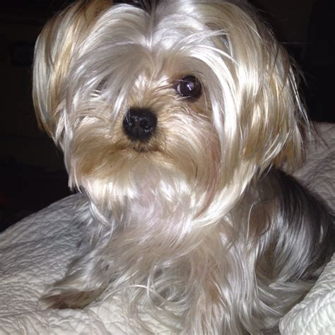 teacup yorkie dogs 101 dogs 101 yorkie poo z gt af breeds picture