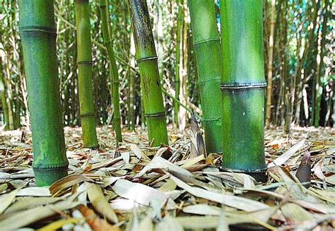 cara membuat yuyu menjadi gembur bambu undang mikroba bebeja com