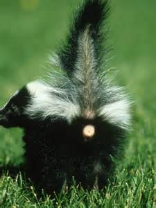 pesky skunks how to get rid of these unwelcomed house guests urban wildlife blog