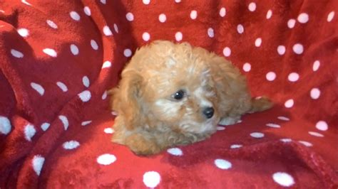 chi poo puppies for sale beautiful chi poo puppies for sale only one left chatteris cambridgeshire pets4homes