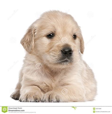 golden retriever 4 weeks golden retriever puppy 4 weeks lying royalty free stock images image 18673589