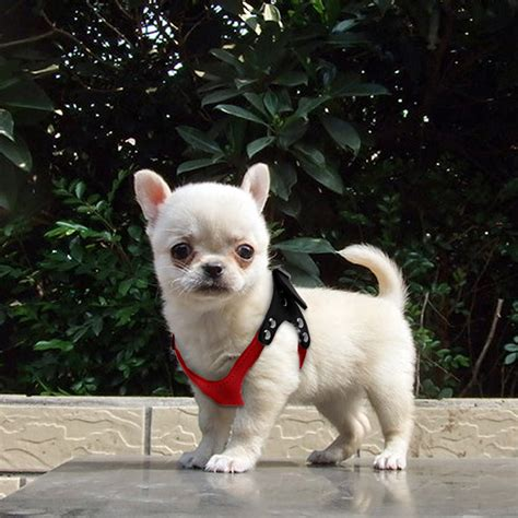 teacup yorkie harness pet soft suede leather small teacup harness vest collar chihuahua yorkie us ebay