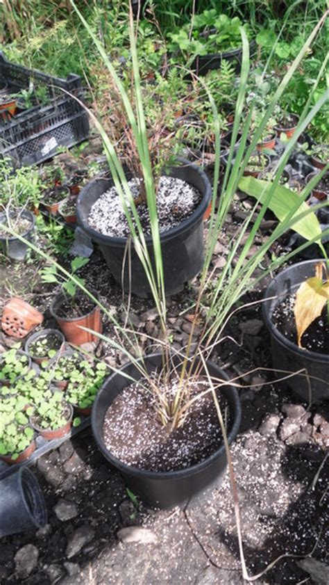 lemon grass citronella seeds cymbopogon flexuosus spicegarden medicinal herb and spice seeds