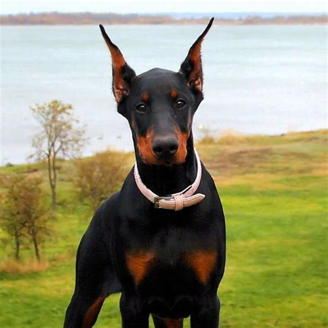 buy doberman puppy doberman pinscher