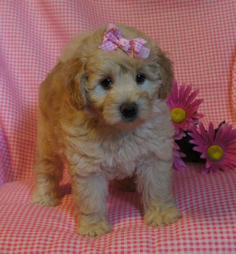 goldendoodle puppy arkansas my doodle darlins miniature and mini goldendoodle