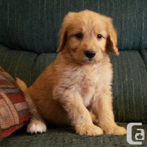 doodle puppies for sale in ontario goldendoodle puppies for sale in thorold ontario