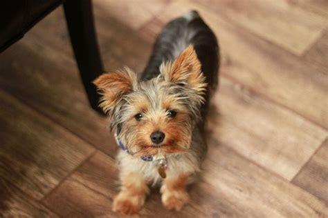 five yorkies terrier de 5 meses mundo perro