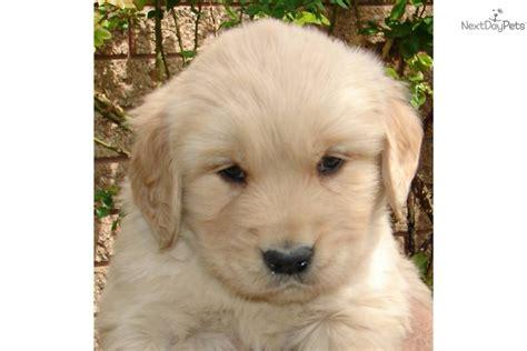 american golden retriever puppies akc golden retriever puppies for sale akc golden breeds