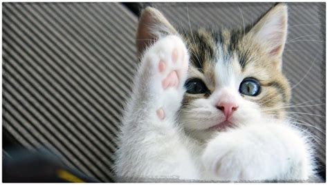 imagenes increibles de gatos gatitos tiernos imagenes de gatitos tiernos con frases y mas